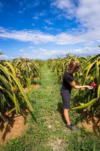 Drachenfrucht Farm